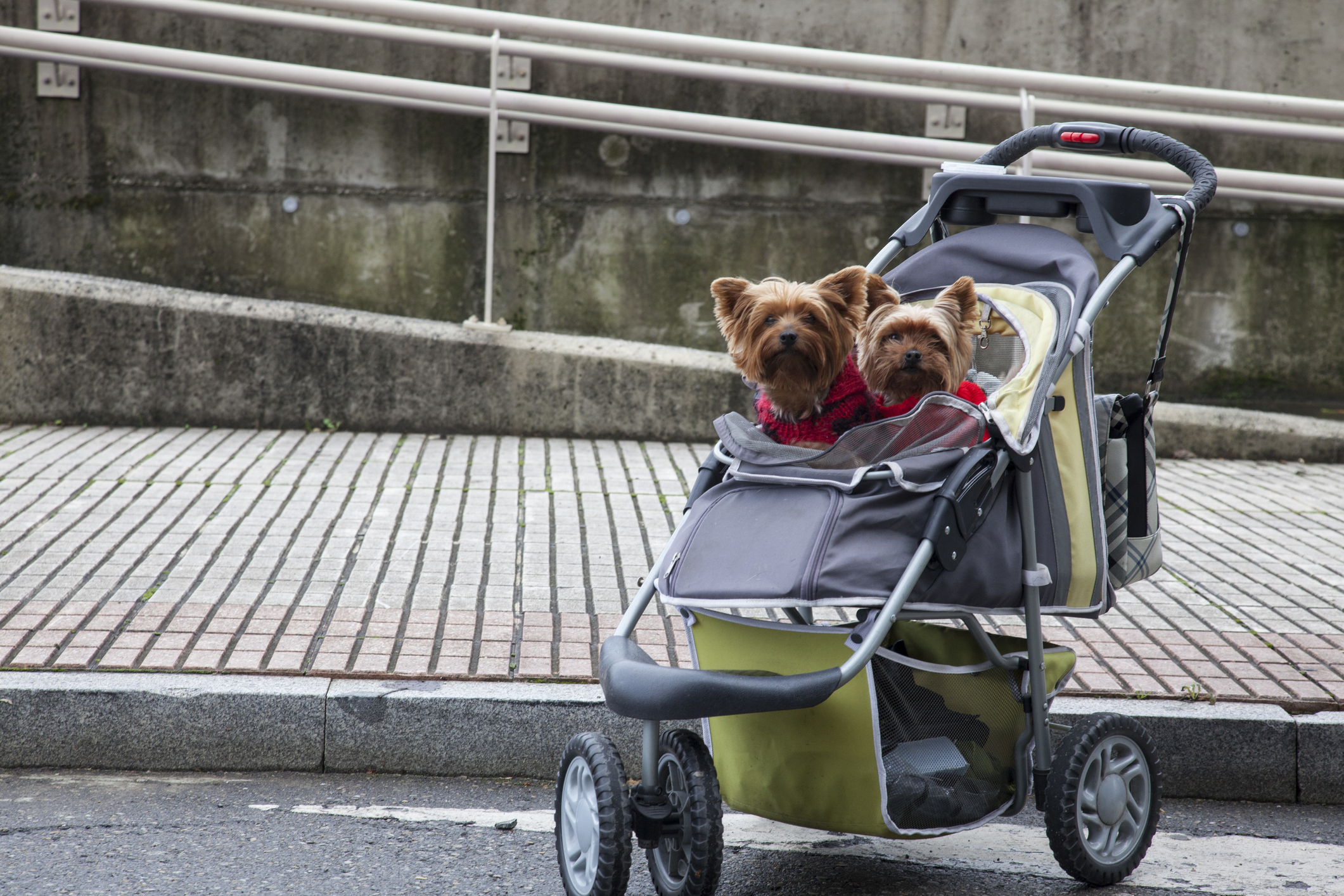 Two Small Dogs in Baby Stroller